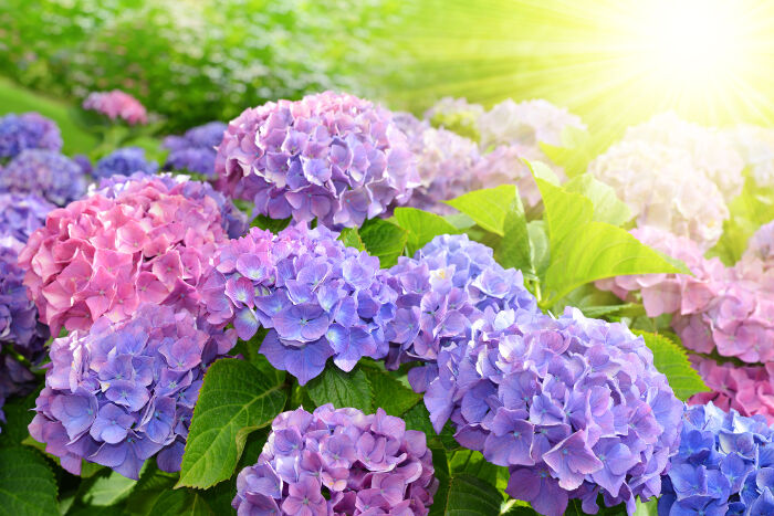 Purple Hydrangea Flower Hydrangea Macrophylla In A Garden Top