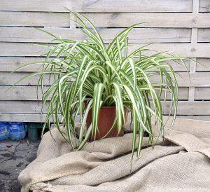 Dekorative zimmerpflanzen top plant for Dekorative zimmerpflanzen